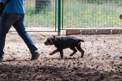 Little Rottweiler shows its character stubbornly unwilling to obey the request of the owner. royalty free stock photo