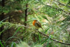 Little ruffled robin chick royalty free stock photos
