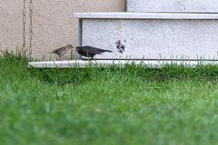 Little rufous collared sparrow feeding a shiny cowbird. By the house Royalty Free Stock Image