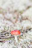 Little russula mushroom on white moss Royalty Free Stock Image