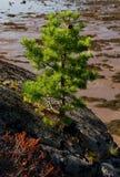 Little sörjer treen på rocken av den Unpopulated ön Arkivbilder