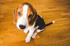 Little sad beagle puppy sits on a wooden floor, looking up. Animal theme breed waiting cute dog sitting studio portrait small background pet one funny canine stock images