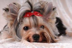 Little sad dog. Lying on light velvet background stock image
