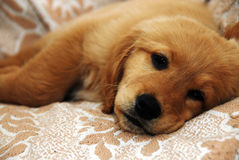 Little sad dog. Little cute golden sad dog lying indoor Stock Photography