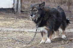 Little sad dog on a chain Stock Image
