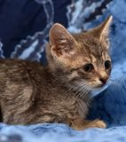 Little sad gray striped kitten Royalty Free Stock Image