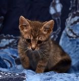 Little sad gray striped kitten Stock Images