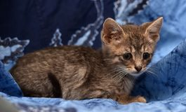 Little sad gray striped kitten Royalty Free Stock Photo