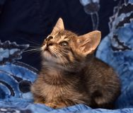Little sad gray striped kitten Royalty Free Stock Photos