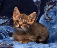 Little sad gray striped kitten Stock Image
