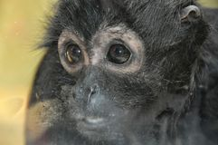 Little sad monkey Stock Image