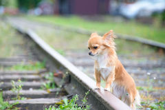Little sad russet dog waiting on railroad Royalty Free Stock Photography