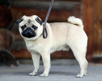Little sad white pug dog Royalty Free Stock Photography