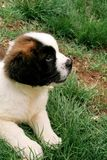Little saint bernard dog puppy in nature Royalty Free Stock Images