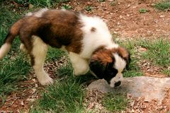 Little saint bernard dog puppy in nature Royalty Free Stock Photo