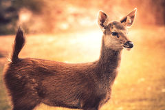 Little sambar    deer looking to other way in wild Stock Photography