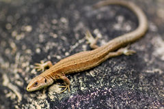 Little sand lizard. Little sand lizard sitting on a stone in summer and live in Russia..Name Lacerta agilis stock photos