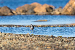 A little sand piper bird foraging for food along the sea shore Stock Images
