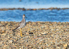 A little sand piper bird foraging for food along the sea shore Royalty Free Stock Photos