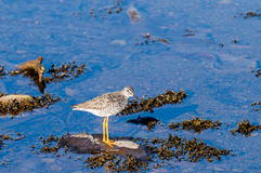 A little sand piper bird foraging for food along the sea shore Stock Photos