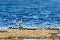 A little sand piper bird foraging for food along the sea shore Stock Image
