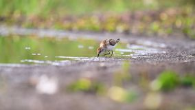Little sandpiper on autumn lake looking for food stock video