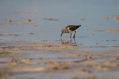 Little Sandpiper looking for food in Pink lagoon in Mexico. Little Sandpiper looking for food in Pink lagoon, Sandpiper bird in Las Coloradas in Mexico stock images