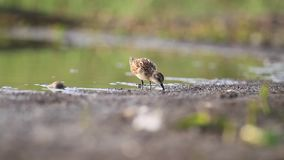 Little sandpiper roams in shallow water stock footage