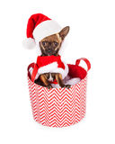 Little Santa Claus Chihuahua Dog in Basket Royalty Free Stock Image