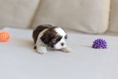 Little scare shih-tzu puppy. Little scare white colored shih-tzu puppy royalty free stock images