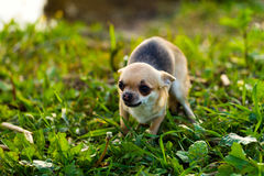 Little scared chihuahua dog. On the background of green grass Royalty Free Stock Images