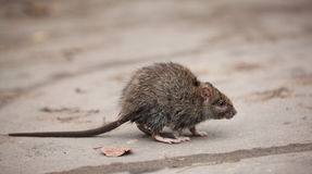 Little scared dirty gray mouse stock photography