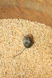 Little scared gray rodent mouse sitting in a barrel with a supply of wheat grains and spoil the harvest. Scared gray rodent mouse sitting in a barrel with a royalty free stock image