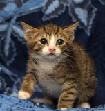 A little scared striped brown and white kitten Royalty Free Stock Photography
