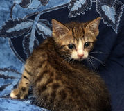 A little scared striped brown and white kitten Stock Image