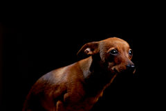 Little scared terrier on black Royalty Free Stock Photo