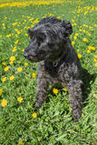 Little schnauzer in dandelion Royalty Free Stock Image