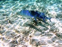 Little school of Bluefin Trevally. A big hunter: bluefin trevally in Maldivian sea Stock Image