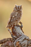 Little scops owl observer on a wooden watchtower Royalty Free Stock Photo