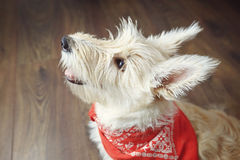 Little scotch terrier sitting on the wooden floor. Stock Photography