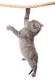 A little scottish fold kitten stock image