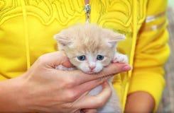 Little scottish kitten Royalty Free Stock Photos