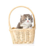Little scottish kitten sitting in basket. isolated on white Royalty Free Stock Photo