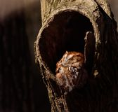 Little Screech Owl napping in the morning sun. A Little orange Screech Owl napping in the morning sun during winter in Pennsylvania stock photography