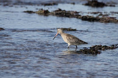 Little sea bird Royalty Free Stock Photography