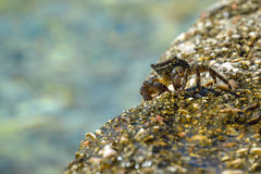 Little sea crab on a rock near the water Stock Photography