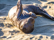 Little Sea Lion. Sea Lion is lying on the sand beach Stock Image