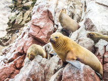 The Little Sea Lion Royalty Free Stock Image