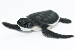 Little sea turtle. The little sea turtle with white background Stock Photos