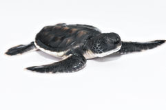 Little Sea Turtle Royalty Free Stock Photography